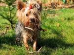 Yorkshire Terrier con el flequillo recogido