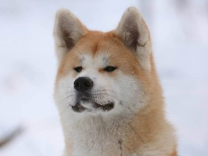 Postal: Akita (raza de perro)