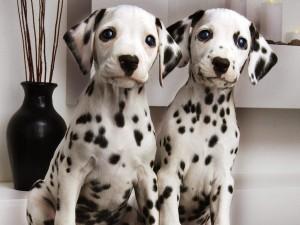 Postal: Dos cachorros dálmatas