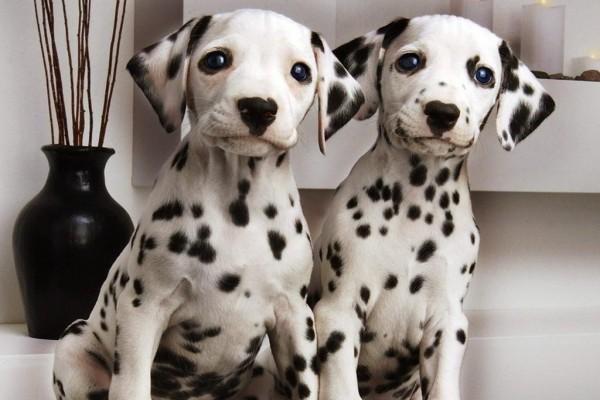 Dos cachorros dálmatas