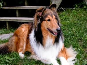Perro Collie sentado en la hierba