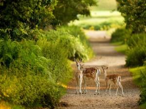 Cervatillos cruzando un camino de tierra