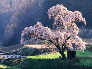 Postal: Un hermoso cerezo en flor