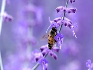 Postal: Abeja polinizando flores violetas