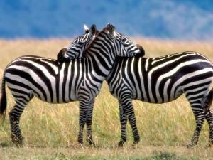 Dos cebras que se quieren