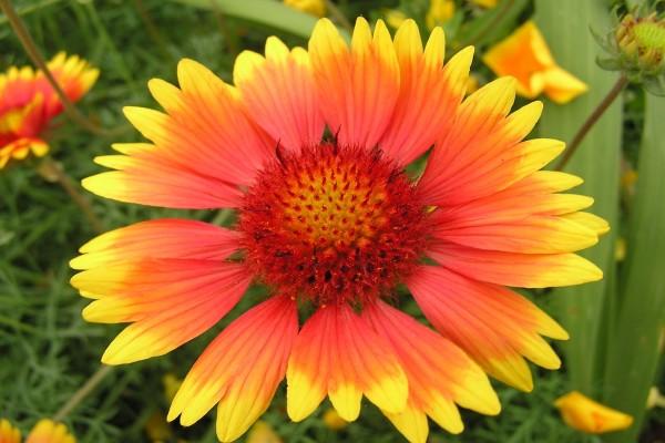 Del rojo al amarillo, en los colores de una flor