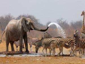 Postal: Elefante africano duchando a las cebras