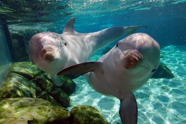 Dos simpáticos delfines bajo el agua