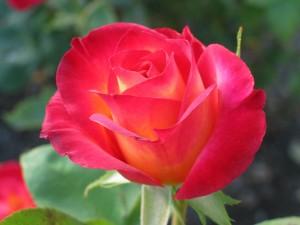 Postal: Una rosa abriendo sus pétalos