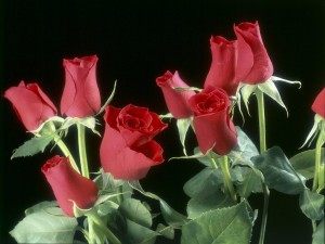 Postal: Pimpollos o capullos de rosas rojas