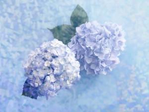 Postal: Dos hermosas hortensias azules