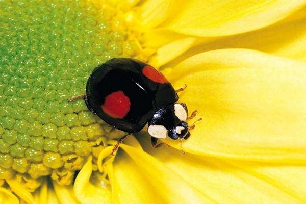 Mariquita negra con dos puntos rojos