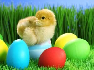 Postal: Pollito sobre huevos de colores