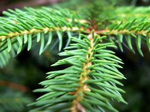Hojas de pino