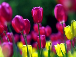 Postal: Tulipanes rosas y amarillos
