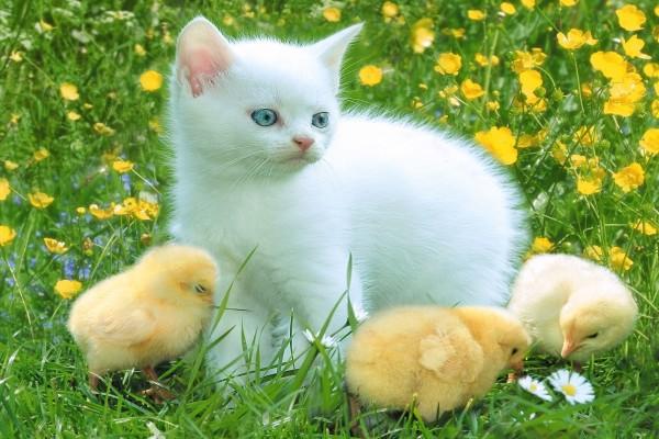 Un gato blanco con tres pollitos