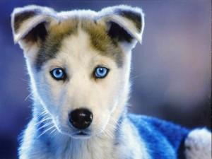 Postal: Husky siberiano de ojos azules