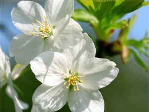 Postal: Flores blancas de cerezo en su rama