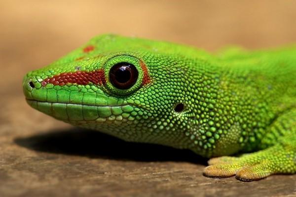 Cabeza de un lagarto verde