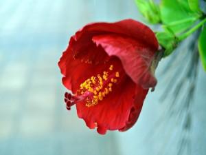 Flor de hibisco roja