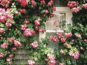 Postal: Casa rural adornada con flores silvestres rosas