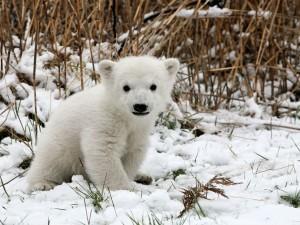 Postal: Pequeño cachorro de oso polar