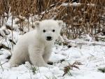 Pequeño cachorro de oso polar