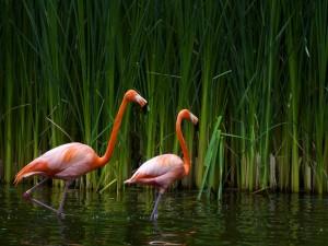 Postal: Flamencos en el agua