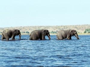 Postal: Tres elefantes caminando en el agua