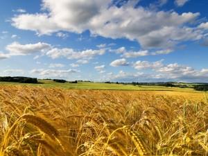 Postal: Nubes sobre un campo de trigo