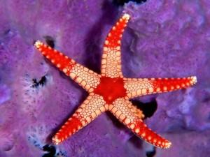 Estrella de mar blanca y roja