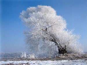 Postal: Árbol con las ramas cubiertas de nieve