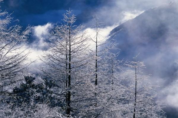 Copas de los árboles cubiertas de nieve