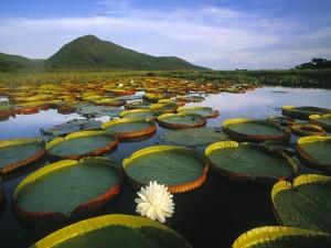 Nenúfares en el Parque nacional del Pantanal Matogrossense (Brasil)