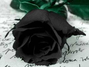 Postal: Una rosa negra