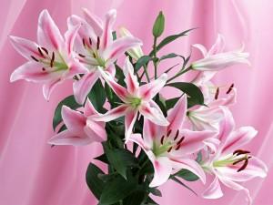 Postal: Flores de Lilium de color rosa