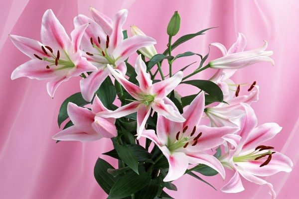 Flores de Lilium de color rosa