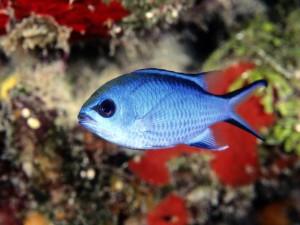 Postal: Pez azul en un arrecife de coral