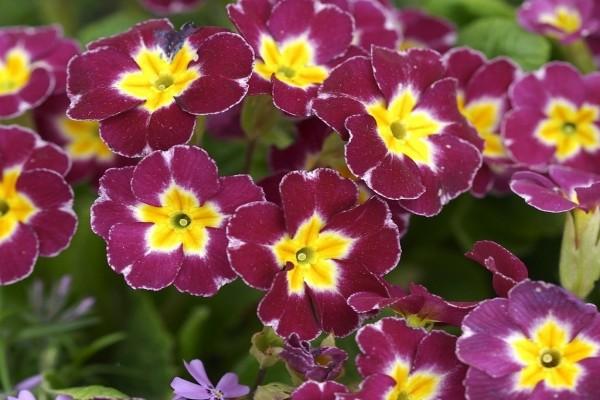 Flores moradas con el centro amarillo
