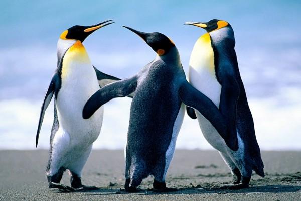 Trío de pingüinos