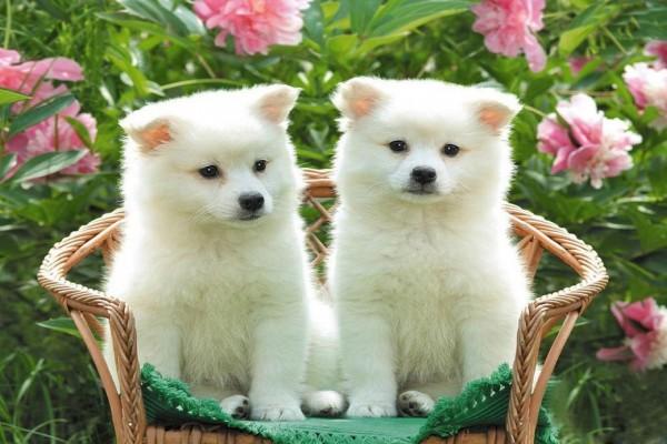 Perritos blancos en una silla