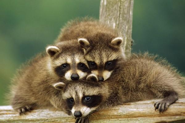 Familia de mapaches