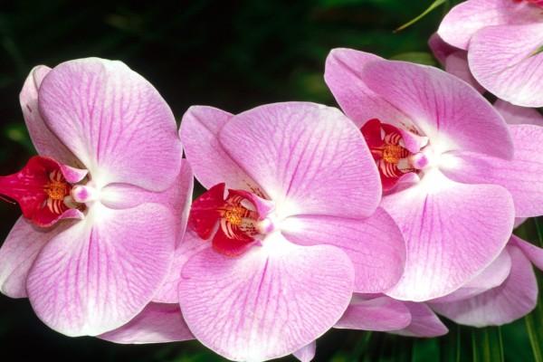 Rama de orquídea rosa