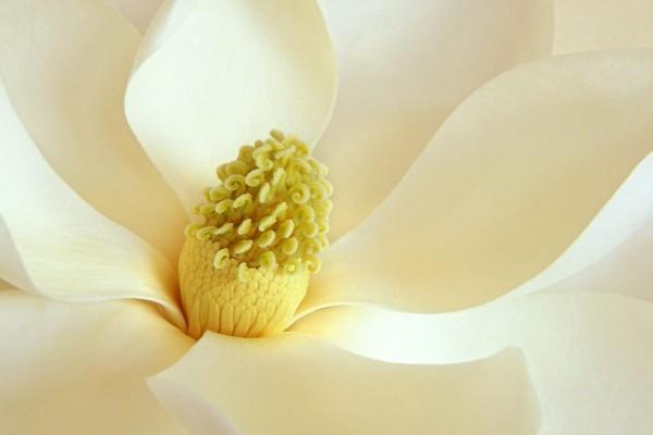 Interior de una magnolia blanca