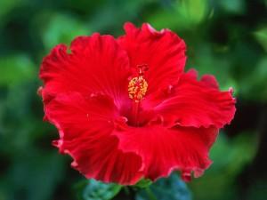 Flor de hibisco rojo