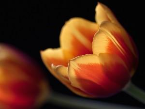 Tulipán anaranjado