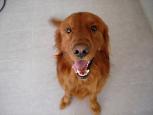 Postal: Golden retriever feliz