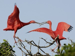 Postal: Dos ibis escarlata