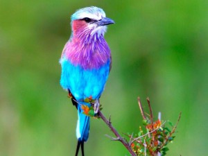 Postal: Pájaro azul con colores púrpura