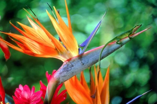"""Flor """"ave del paraíso"""" con un lagarto verde encima"""
